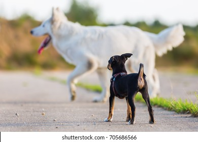 pinscher hybrid puppy in the foreground and a white German shepherd in the background
