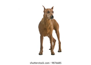 pinscher isolated on a white background