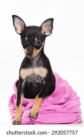 Pinscher puppy sitting and looking at the camera (isolated on white)