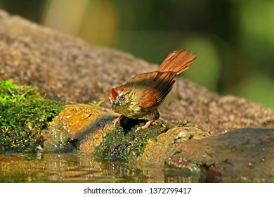 Pin-striped Tit Babbler in nature