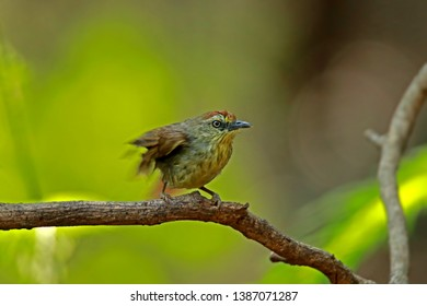 Pin-Striped Tit Babbler on branch in nature, Thailand