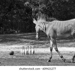 Pinstripes represented by a zebra outdoors with a bowling ball and pins in black and white.l