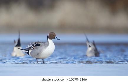 Pintail duck drake on frozen ice of an ephemeral (seasonal) wetland