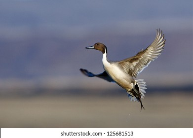 Pintail Duck in flight, isolated against a natural background, duck hunting in California and Oregon