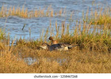 Pintail duck in North Bull Island in Dublin, Ireland