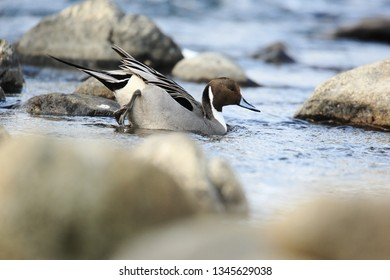 Pintail on river