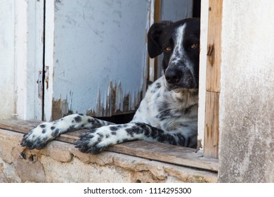 pinto black and white dog peeping out the door