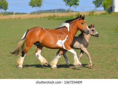 Pinto chestnut Irish cob mare with a foal runnig in the pasture. Horizontal, side view, in motion.