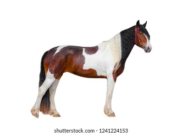 Pinto gypsy horse or irish cob isolated over a white
