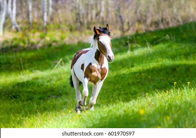 Pinto horse galloping on nature landscape