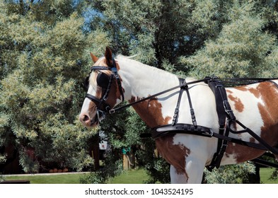 Pinto horse in harness to pull a cart or wagon