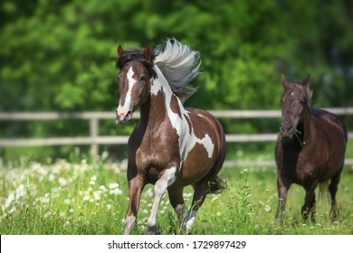 Pinto horse with long mane run gallop close up on spring chamomile meadow