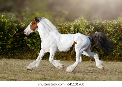 Pinto horse running trotting on the field by summer