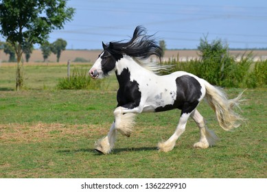 Pinto Irish cob horse running in canter over the field. Horizontal, side view, in motion.