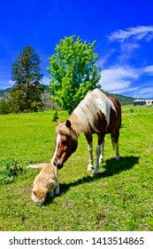Pinto pony sniffing a barn cat in its pasture on a sunny summer day.