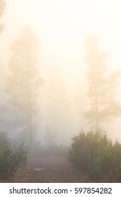Pinus canariensis. Misty foggy forest in Tenerife, Spain, winter weather