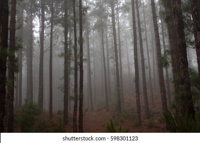 Pinus canariensis. Misty foggy forest in Tenerife, Spain,