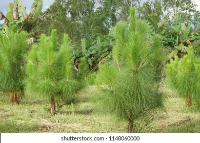 Pinus elliottii or Hairy Spurge, Slash Pine, Tree Rings