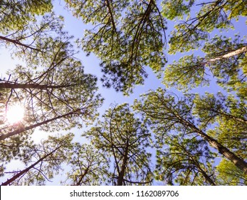 Pinus elliottii, invasive species, on sand dunes at Rio Vermelho State Park in Florianopolis, Brazil