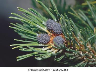 Pinus mugo - ( female cones ) - It is also known as creeping pine, dwarf mountain pine, mugo pine.