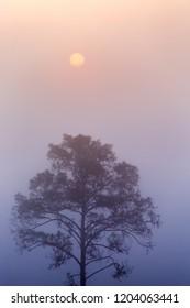 Pinus mugo - It is also known as creeping pine, dwarf mountain pine