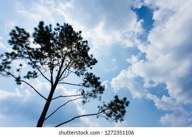 Pinus mugo - It is also known as creeping pine, dwarf mountain pine, mugo pine.