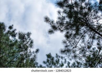 Pinus mugo - It is also known as creeping pine, dwarf mountain pine, mugo pine