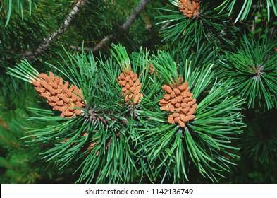 Pinus mugo - Strobili ( male cones ) - It is also known as creeping pine, dwarf mountain pine, mugo pine.