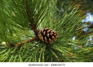 Pinus nigra, the Austrian pine or black pine, is a species of pine, occurring across southern Mediterranean Europe, Turkey and on Corsica and in North Africa.