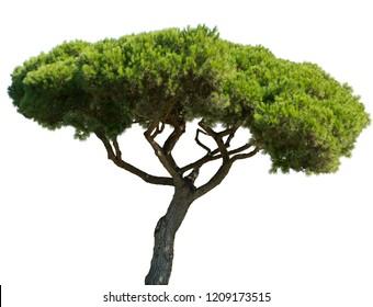 pinus pinea mediterranean stone pine isolated on white background