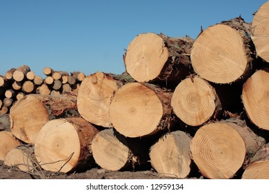 Pinus Radiata logs waiting for the truck to pick them in a clear-felled area of forest