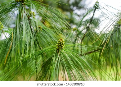 Pinus strobus, commonly denominated the eastern white pine,  Weymouth pine, and soft pine is a large pine native to eastern North America.