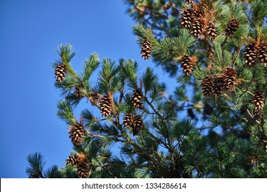 Pinus strobus, commonly denominated the northern white pine