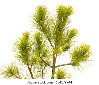 Pinus strobus pine isolated on white background. Coniferous trees