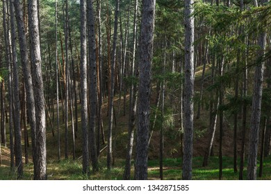 Pinus sylvestris. Pseudotsuga menziesii. Forest of pines and firs.