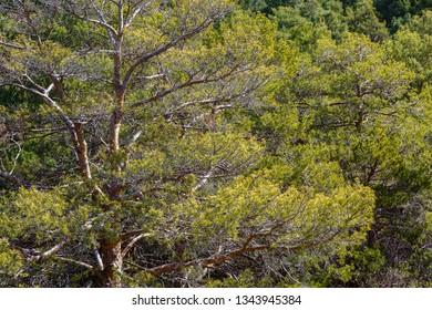 Pinus sylvestris. Wild pine forest.