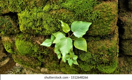 Pipal plant growing on the old mossy bricks wall