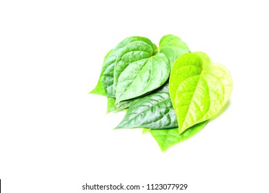 Piper betel leaves on white background. This is an evergreen plant with heart-shaped leaves. Petel plant originated in South and South East Asia.