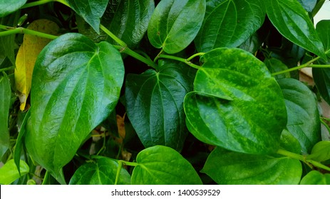 Piper betel with unique texture. Betel leaf is usually used as a cosmetic ingredient and is useful for the treatment of various diseases naturally and without side effects