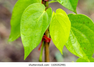 Piper betle Piperaceae