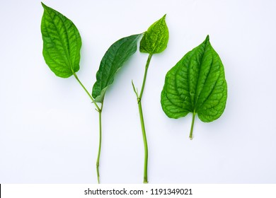 Piper sarmentosum leaves also known as Daun Kaduk among Malay people in Malaysia. Kaduk is an important ingredient in traditional Malay food called laksa.