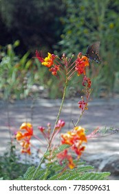 Pipevine swallowtail (Battus philenor) on a Mexican Bird of Paradise flower