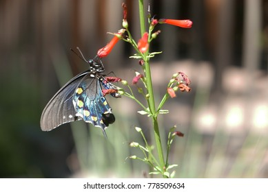 Pipevine swallowtail (Battus philenor) on a firecracker penstemon