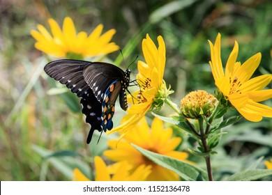 Pipevine Swallowtail Butterfly, Battus philenor, shot in Oklahoma.