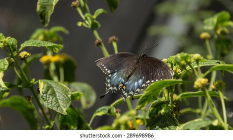 The pipevine swallowtail butterfly, Battus philenor, is found in North America and Central America