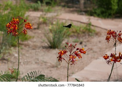 Pipevine swallowtail butterfly  (Battus philenor) flying from one Mexican bird of paradise flower to the next