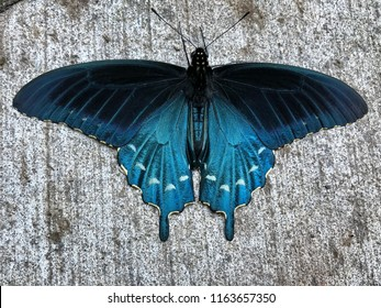 Pipevine Swallowtail butterfly with wings fully spread on a sidewalk located in Cherokee, NC taken with phone in horizontal, photographed from above.