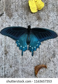 Pipevine Swallowtail butterfly with wings fully spread on a sidewalk located in Cherokee, NC taken with phone in vertical, photographed from above.