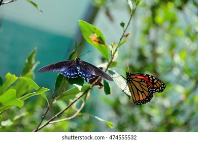 Pipevine Swallowtail and Monarch butterflies in leaves