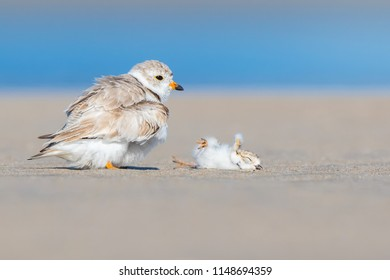 Piping Plover Blooper